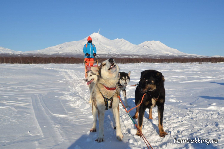 Туры на Камчатку, катание на собачьих упряжках